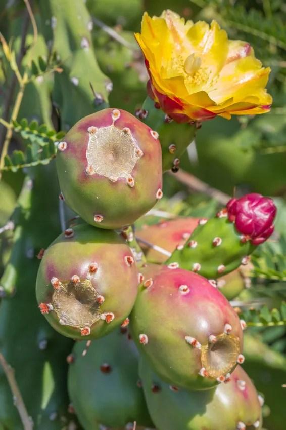 lesinspyrees figues de barbarie arbuste