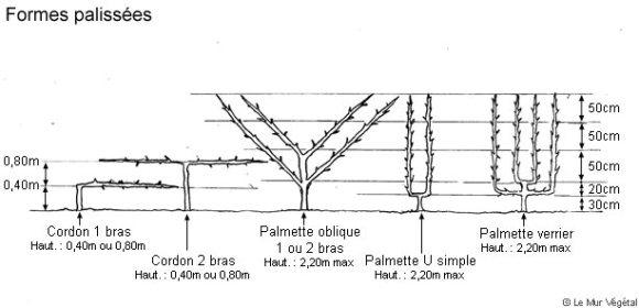 Tableau présentant les différentes formes de conduites des fruitiers palissés
