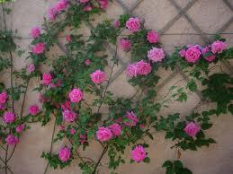 La plantation des rosiers à racine nues
