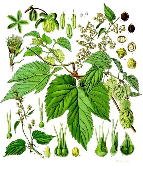 Planche descriptive des éléments du houblon