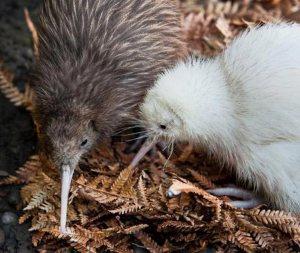 Kiwi brun et kiwi blanc (nés de deux parents bruns, la couleur blanche étant un gène récessif porté par les deux parents) dans le Wildlife Center Mt. Bruce, Wairarapa