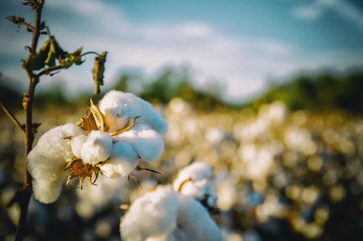 Culture de coton