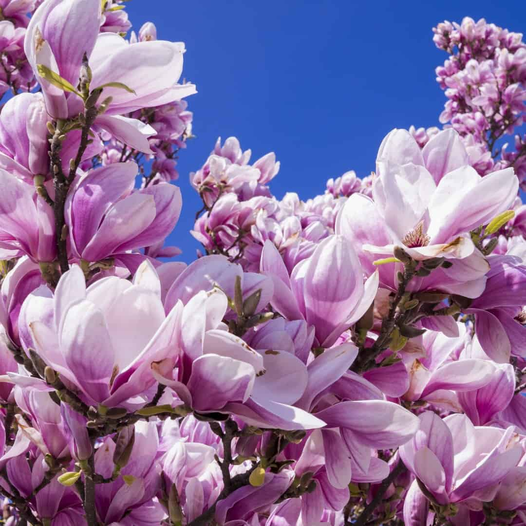 Magnolia les meilleurs fleuristes
