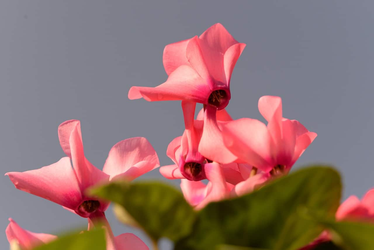 You are currently viewing Le Cyclamen
