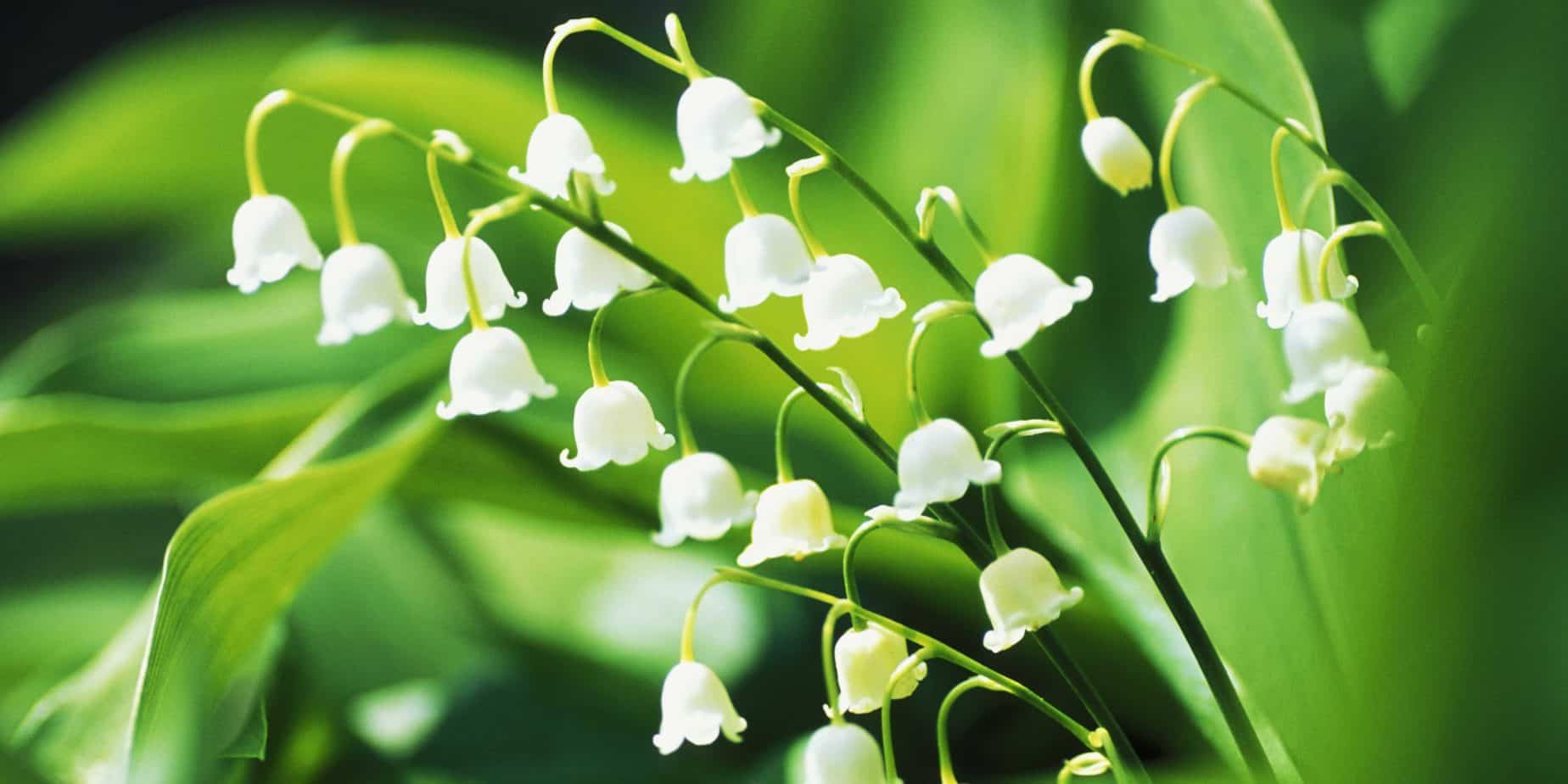 You are currently viewing Le muguet