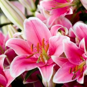 Read more about the article La fleur de lys