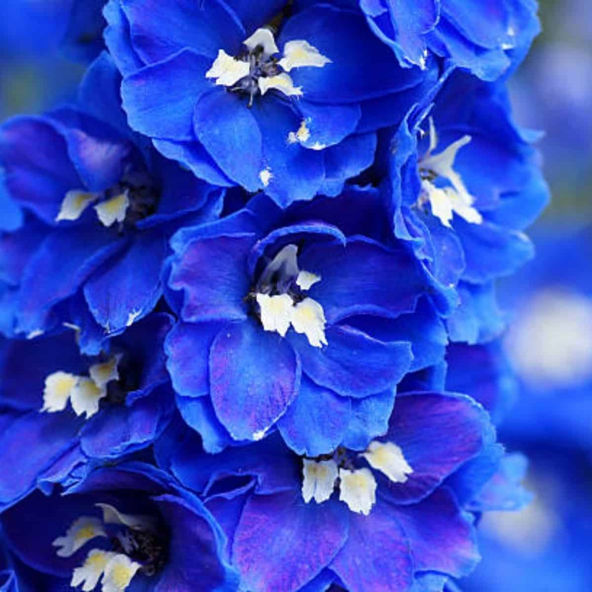 You are currently viewing Le delphinium