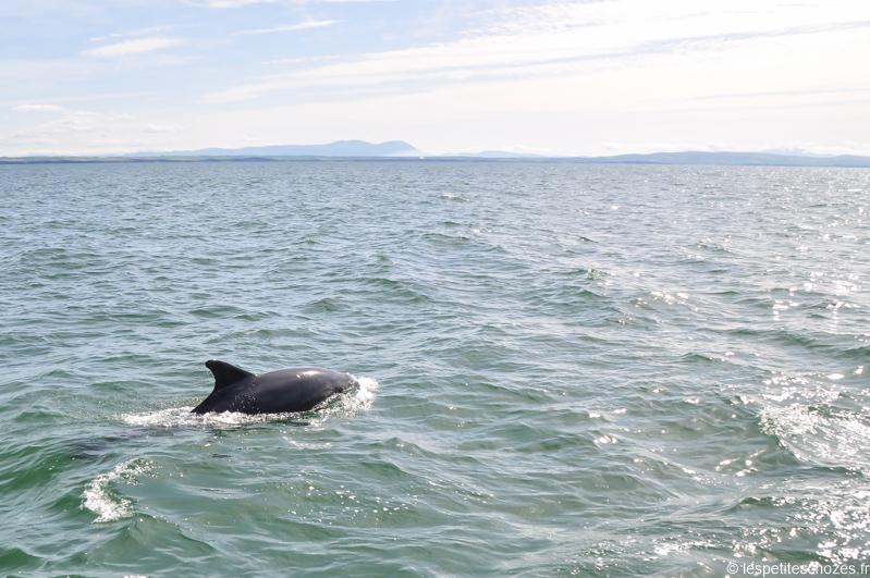 Irlande Dauphin sauvage