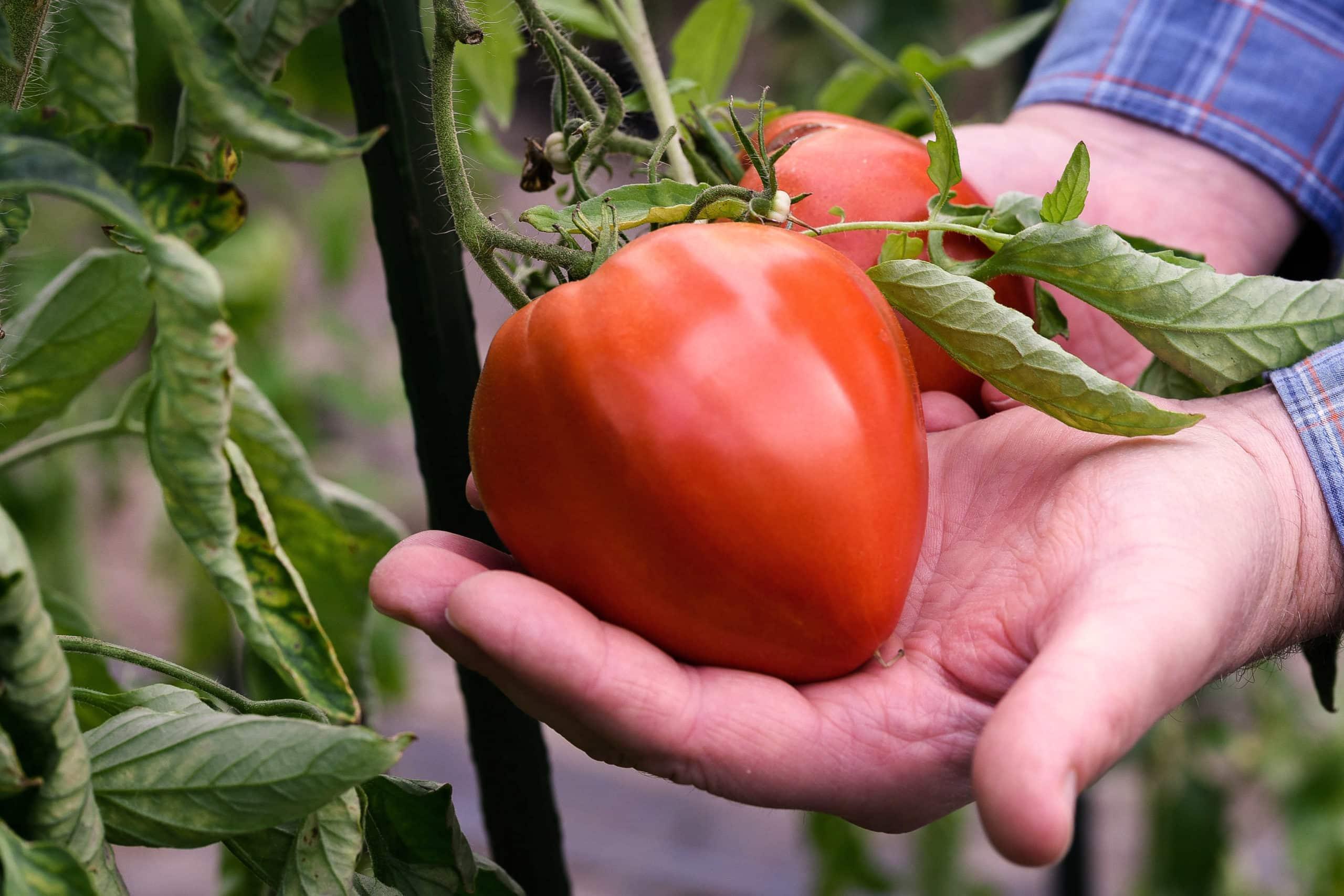 Belle tomate rouge provenant de cultures italiennes