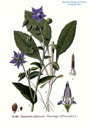 Bourrache officinale - Borago officinalis