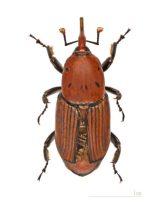 Rhynchophorus ferrugineus (fonte:WIkipedia)