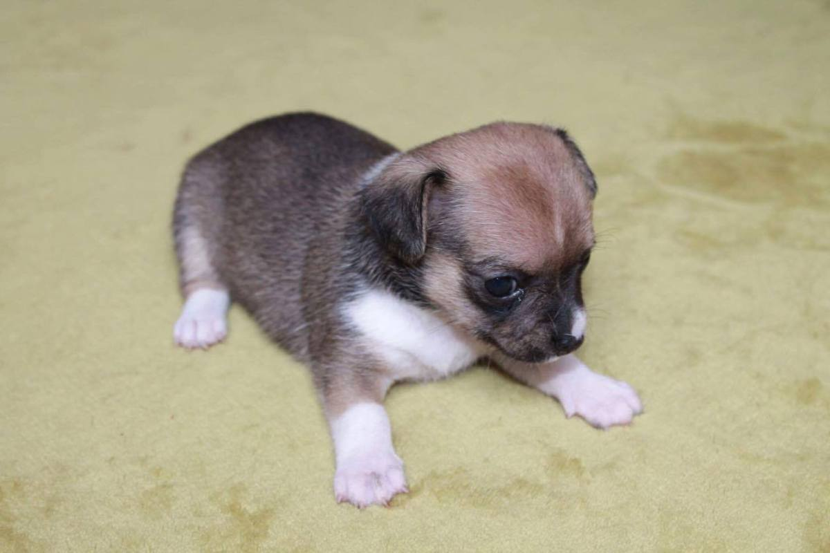 Chihuahua bébé ton clair