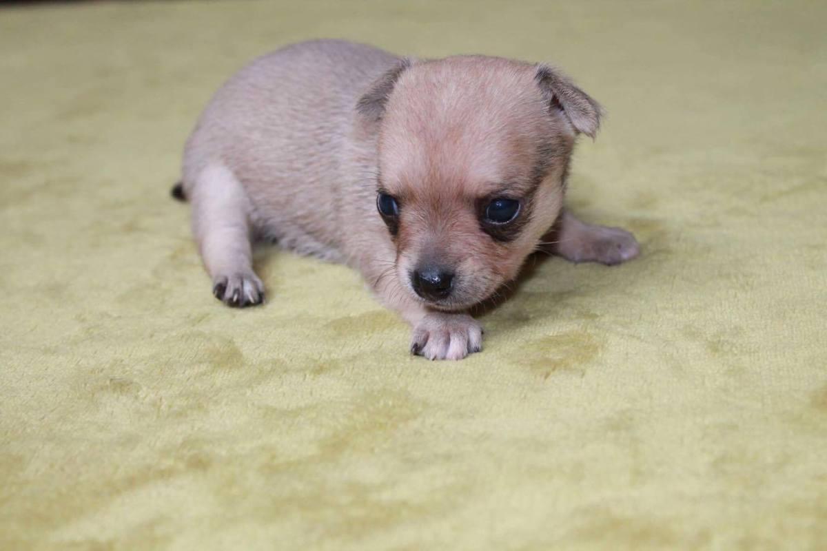 Chihuahua bébé ton clair 3