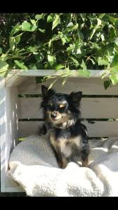 Guess Chihuahua