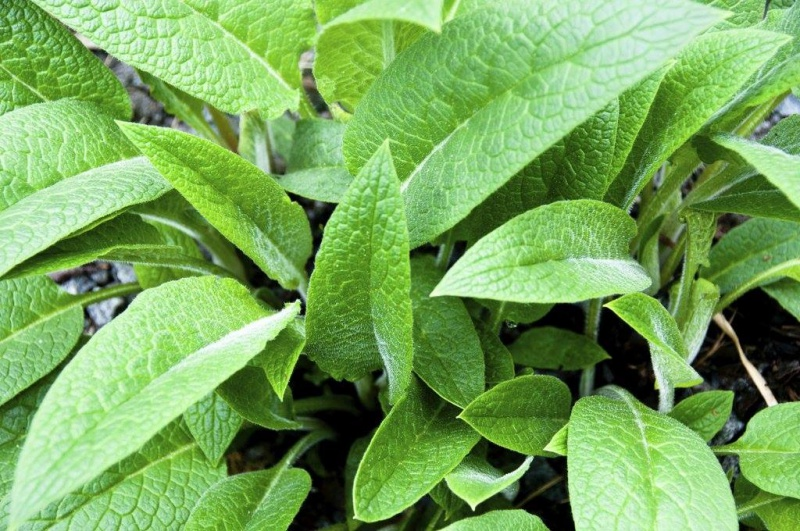 feuilles de consoude