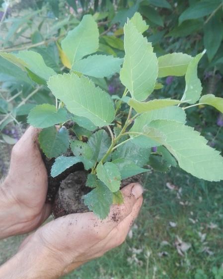 Amélanchier alnifolia Smokey