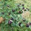 fruits Northline