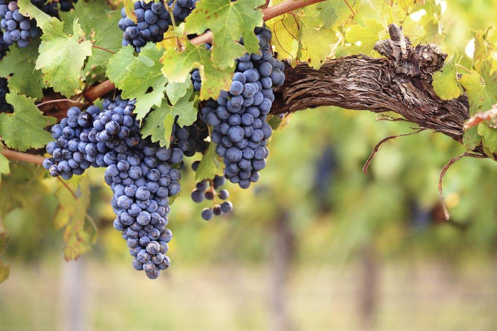 Vins biologiques, vins en biodynamie, vins en cultures raisonnées, vins naturelles, aujourd'hui il existe une multitude de manières de produire du vin avec des normes et des idées différentes. Nous allons donc à travers cet article vous éclairer afin de mieux comprendre. Commençons par les vins biologiques. Un type de production vers lequel de plus en plus de vignerons se tournent. Le vin biologique existe officiellement depuis 2012. Un concept plutôt récent ! Auparavant, seul la viticulture était prise en compte et non la vinification. Aujourd'hui lorsque on passe en « bio », les viticulteurs doivent respecter certaines obligations. Les traitements synthétiques et d'insecticide sont bannis dans les vignes et, depuis peu, on assiste à une réduction des intrants lors de la vinification. Mais connaissez-vous la différence entre vins biologiques et vins en biodynamie ? Il existe une différence entre vin biologique et un vin en biodynamie. Les vignerons en culture biodynamique cherchent à intensifier la vie du sol pour faciliter l'échange entre la terre et la plante. Des préparations à base de plantes qu'ils infusent, permettent à la vigne à se renforcer. C'est un peu comme votre traitement homéopathique de prévention. Ils utilisent aussi le calendrier lunaire pour permettre la meilleure altercation entre la plante, le sol et la lune. Steiner (1861-1925) instaure les bases de cette pensée aussi appelée anthroposophie. Récemment, nous avons vu apparaître un nouveau mode de production : les vins naturels. Le vin naturel n'autorise aucun intrant ni techniques visant à modifier le jus originel, mis à part le soufre… Il existe aussi une autre section dans les vins naturels encore plus pure, les vins Sans Aucun Intrants Ni Sulfites (S.A.I.N.S). Voici quelques exemples concrets de la différence entre ces différents modes de pensée : • Vins conventionnels rouge normes E.U : 160 mg/litre de soufre • Vins rouge issus de l'Agriculture Biologique : 100 mg/litre de soufre • Vins rou