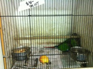 green parrot pair in fear in filthy cage