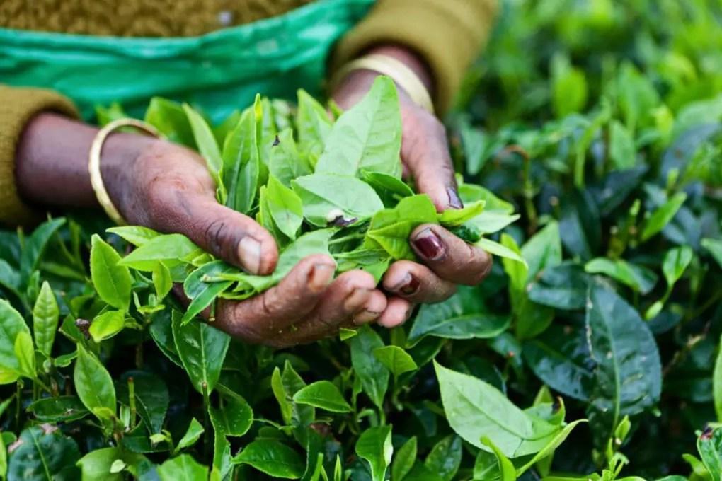Cueillette de thé au Sri Lanka