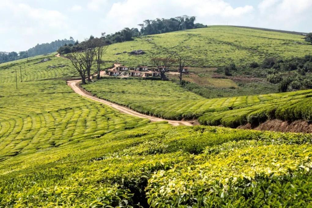 plantation de thé en Tanzanie