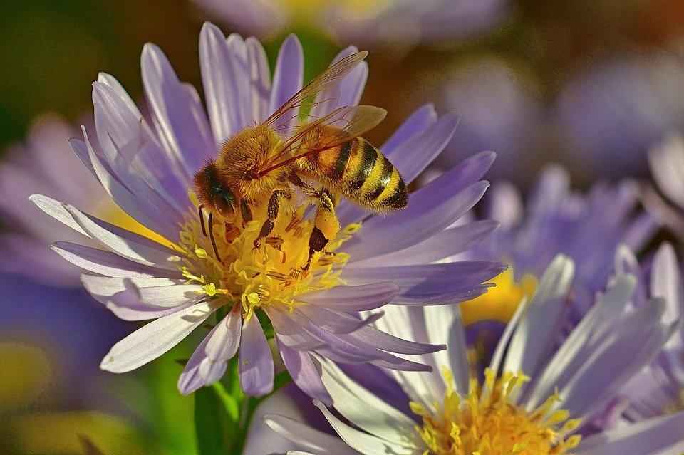api custodi di biodiversita