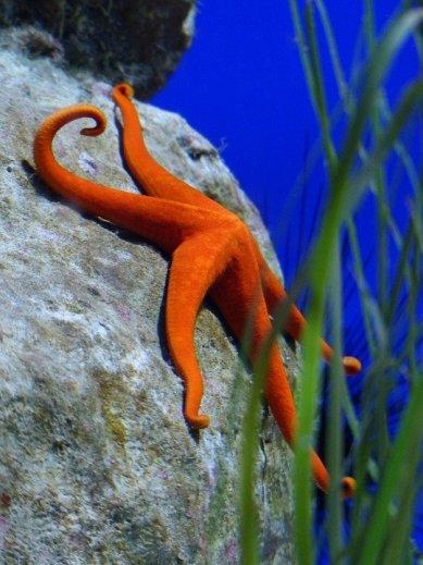 stella marina in mare