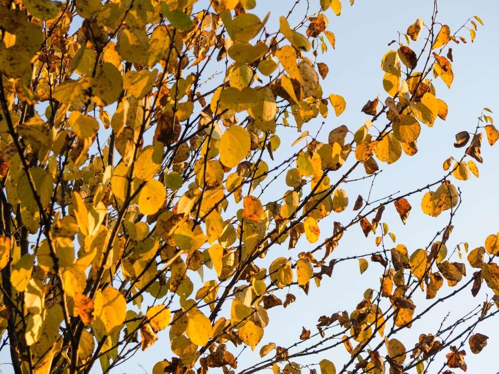 Aspen leaves against blue sky in fall