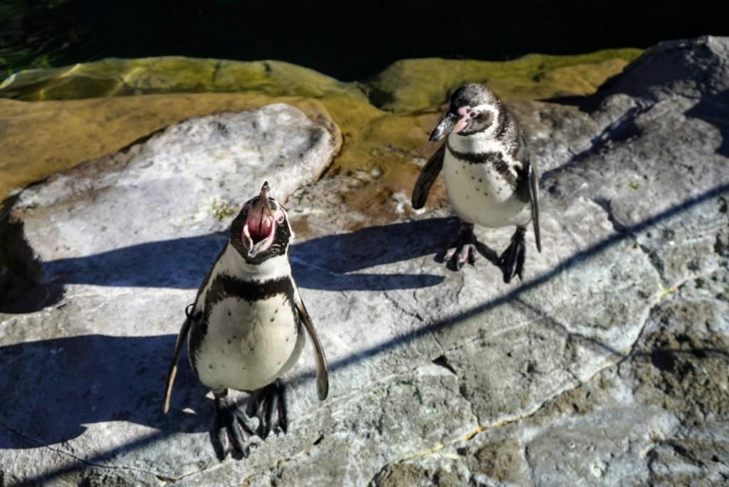 St Louis Family Trip - St Louis Zoo penguins