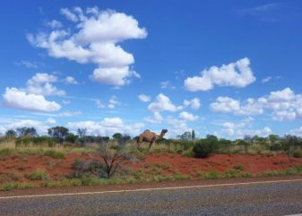 dromadaire red center australie