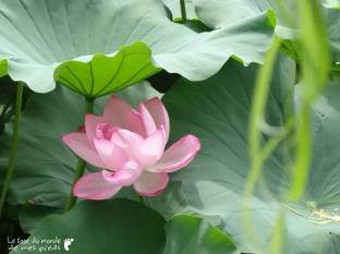 lotus-japon