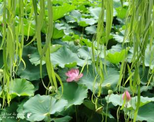 lotus-tokyo