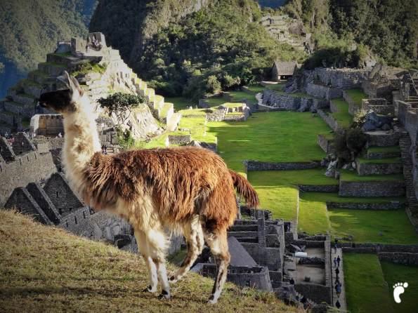 lama face au Machu Picchu