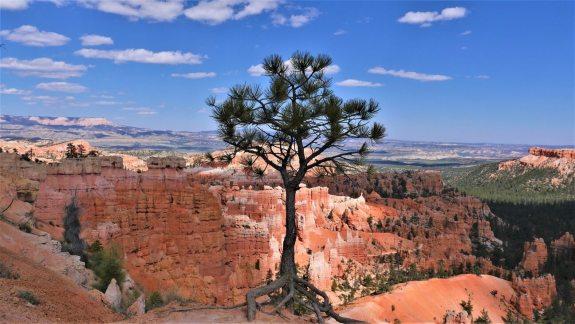 Arbre Bryce Canyon