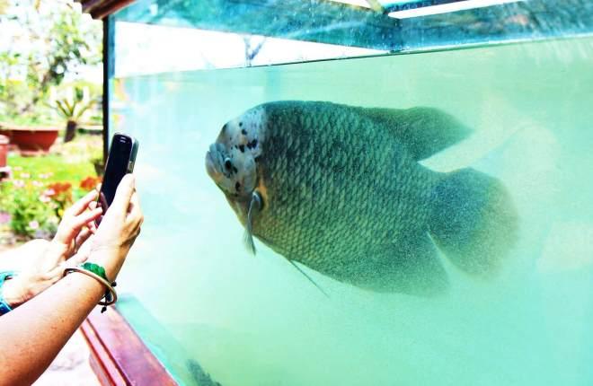 poisson elephant ear fish