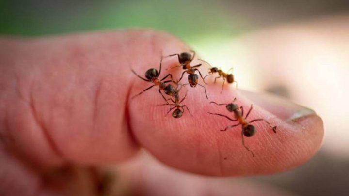 fourmis animaux de compagnie