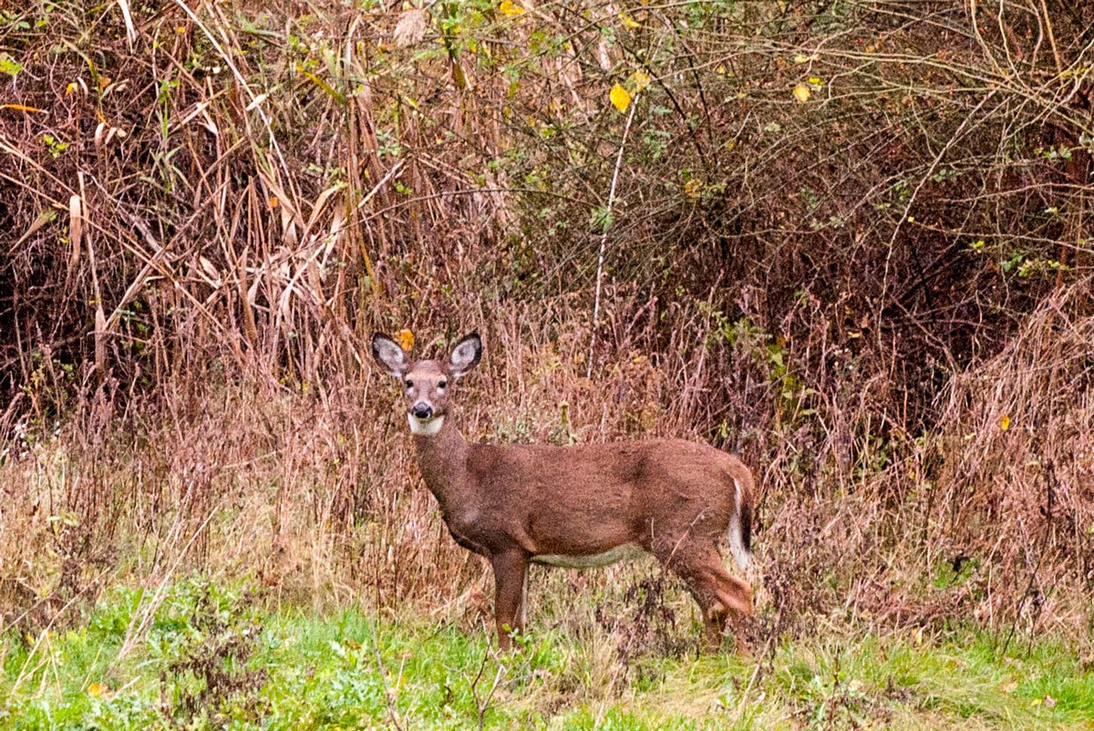 Scouting For Whitetail Deer