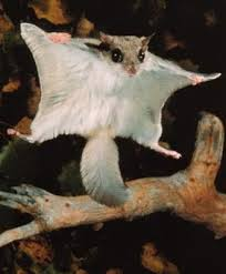 indain flying squirell