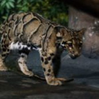 clouded leopard np