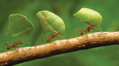 Ants working hard carrying leaves