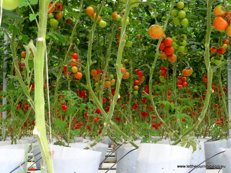 Tomato plantation at Cameron Highlands