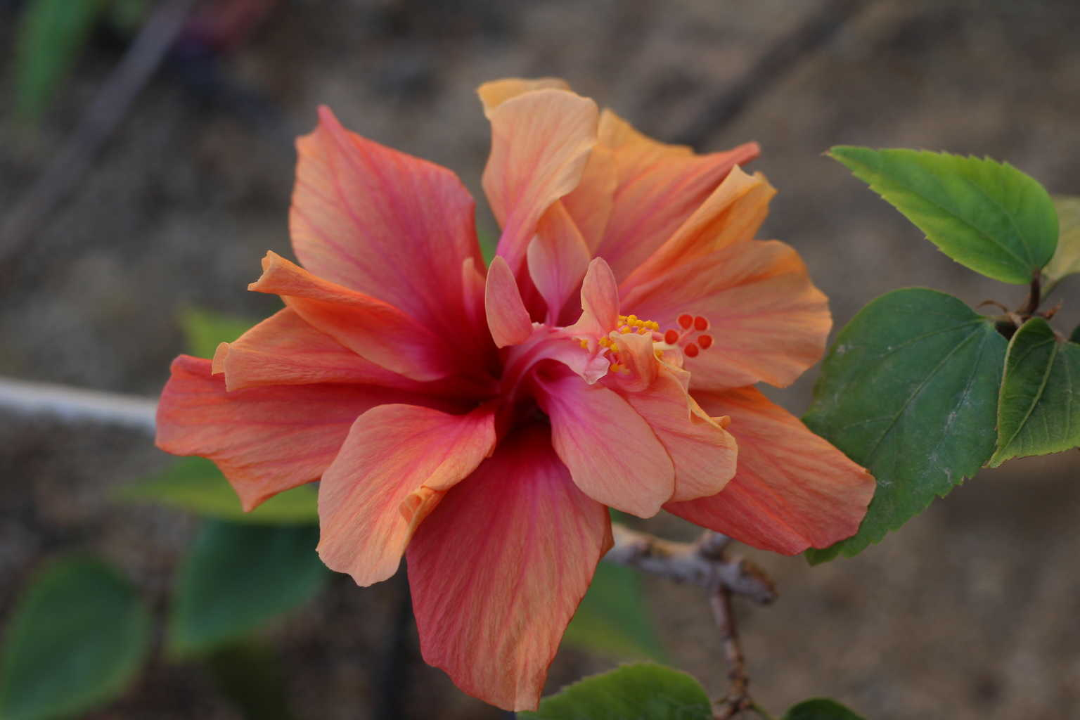 Flower shop near me hibiscus flower in spanish flower shop hibiscus flower in spanish the flowers are very beautiful here we provide a collections of various pictures of beautiful flowers charming izmirmasajfo