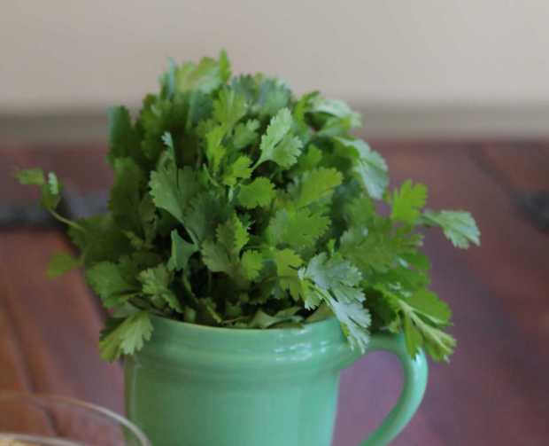 Fresh cilantro for Salsa Verde—Green Table Sauce