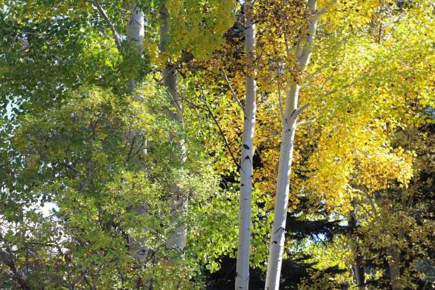 Aspen trees in Indian Summer