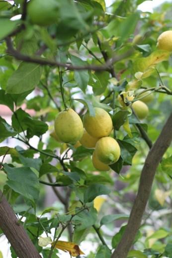 Citrons au jardin...