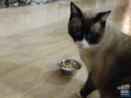 A wary siamese cat sniffing out the Bonito Bitz cat food in a small silver bowl.