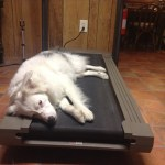 A deaf dog lays on a treadmill