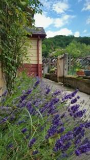 Lavender 2 - resized
