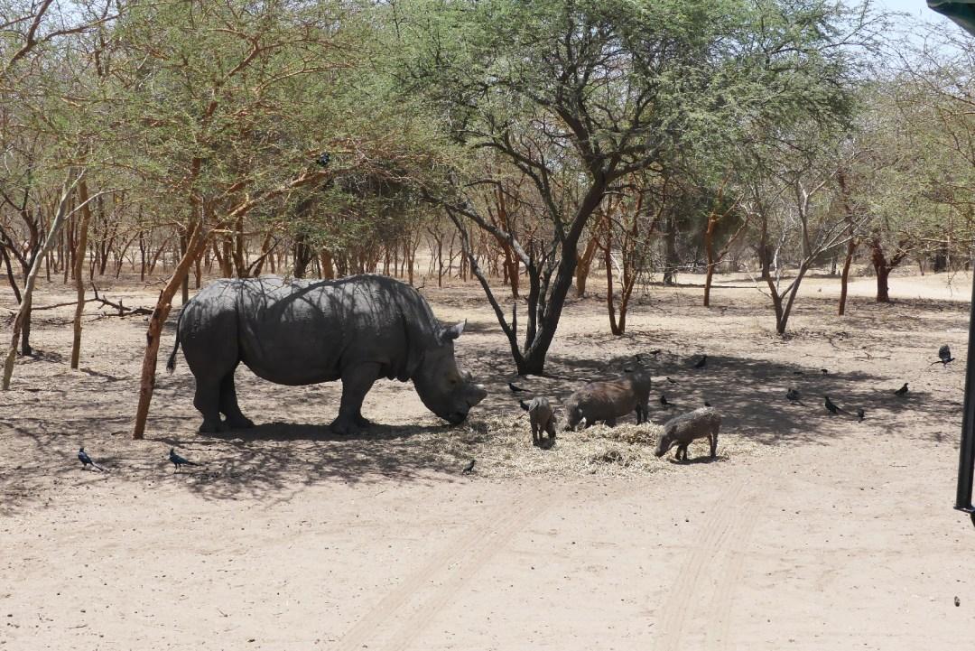Un rhinocéros et des phacochères de la réserve de Bandia