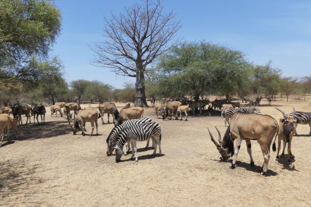 Zèbres et antilopes dans la réserve de Bandia